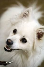 """http://obedient-dog.net/dog-breeds/american-eskimo-dog-training-secrets.html  If you want to know the secrets of the American Eskimo Dog puppy training, your best solution is the new """"American Eskimo Dog Training Secrets"""" eBook. With the """"American Eskimo Dog Training Secrets"""" you'll learn how to give your dog easily the best American Eskimo Dog puppy training. If you give him a good American Eskimo Dog puppy training your dog will obey all your rules."""