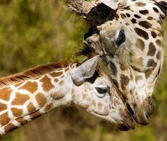 #Giraffe <3