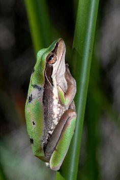 West Australian - Slender Tree Frog ~ Litoria adelaidensis