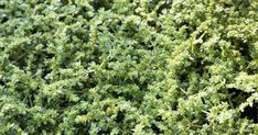 Herniaria Glabra: How To Grow and Care For Rupturewort