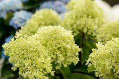 Grün blühende Hortensie #pflanzenfreude