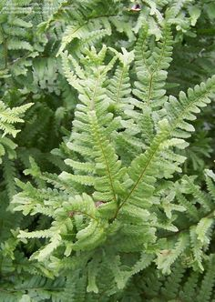dryopteris filix-mas cristata - Google Search