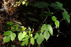 A Red Mulberry sapling at sign (Morus rubra)