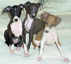 Italian Greyhounds. What home could be complete without them?!!