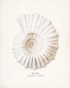 Nautilus Sea Shell Wall Decor Print 8x10 by vintagebytheshore, $14.00