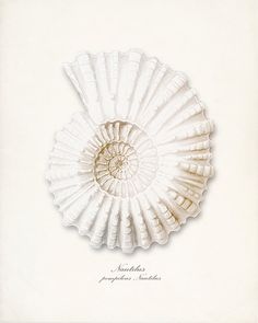 Sea Shell Illustration Antique Nautilus
