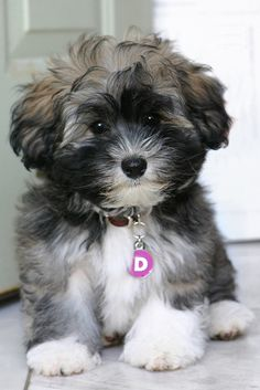 Desi the Havanese Puppy by the other Martin Taylor, via Flickr
