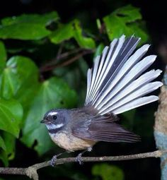 Fantail (piwakawaka) in flight. (Rhipiduridae) Fantails use their broad tails to change direction quickly while hunting for insects, which they do in flight. Beautiful Birds, Animals Beautiful, Animals And Pets, Cute Animals, Nz Art, Maori Art, Wildlife Nature, Colorful Birds, Bird Art