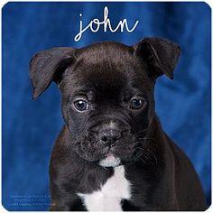 Cincinnati, OH - Boxer/Great Dane Mix. Meet John, a puppy for adoption. http://www.adoptapet.com/pet/17882164-cincinnati-ohio-boxer-mix