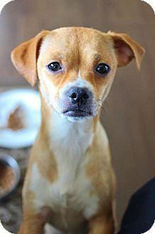 Newaygo, MI - Chihuahua Mix. Meet Fiona, a dog for adoption. http://www.adoptapet.com/pet/12924667-newaygo-michigan-chihuahua-mix