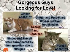NYC pair of wonderful Seniors TO BE DESTROYED Friday, Aug.1'14.  Ginger & PURCELL. ID # is A1008163. Neutered male gray tabby and white about 10 YEARS old.OWNER SUR due to ALLERGIES. I came in with Group/Litter #K14-18750 https://www.facebook.com/nycurgentcats/photos/a.290714664279861.75767.220724831278845/833378330013489/?type=1&theater