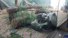 Went to the atlanta zoo recently and saw these panda cubs lean on each other while munching on Bamboo. I love pandas so much I was tearing up. I got to feed a giant panda the same day. The program is called Wild Encounters only at that zoo you could feed a giant panda too! https://ift.tt/2EIk81P