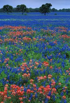 Texas Bluebonnets and Indian Paint Brush wildflowers - some fields are full of the flowers as far as you can see and they line lots of the highways.
