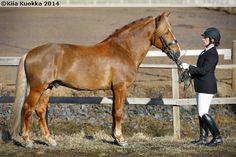 Riding horse type Finnhorse stallion Jalopeno