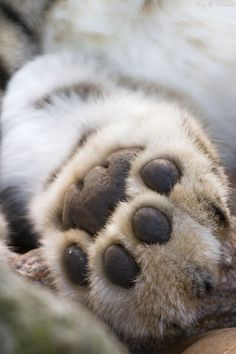A snow leopards paw. It belongs to Assam, the male snow leopard at Zoo Karlsruhe