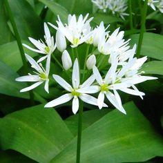 O medvědím česneku Allium, Herb Garden, Life Is Good, Survival, Herbs, Gardening, Health, Plants, Drawings