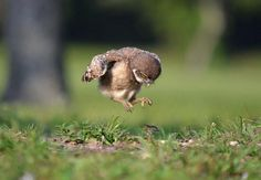 young owl learning to fly