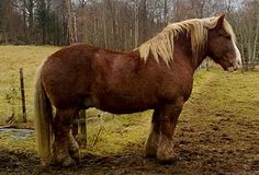 Ardennes Horse, originates from Belgium, Luxembourg and France. Used during the French Revolution, they were considered to be the best artillery horse available, due to their temperament, stamina and strength. Napoleon used large numbers to pull artillery and transport supplies during his 1812 Russian campaign.