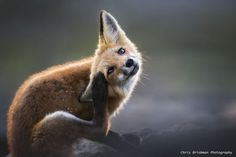 Red Fox by Christopher Brinkman - National Geographic Your Shot