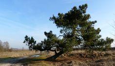 """@marijkevaes on Twitter: """"Ze decoreren het landschap en elk exemplaar is uniek; de reuze bonsais van de Peel. https://t.co/Bajoyrxkk9"""""""