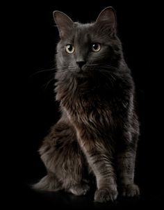 79beb444bb The Nebelung (aka Longhaired Russian Blue)