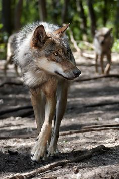 the wolf by Anita Stoewesand on 500px