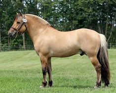Henry 1710 GVF Sjokolade Fjord Pony ... (2016/03/25)