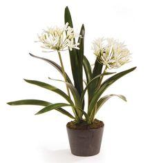 Agapanthus Drop in Plant