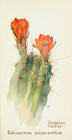 Hedgehog cactus (Echinocereus polyacanthus) from the Western wild flowers book by Margaret Armstrong (with collaboration of J. Cactus Painting, Watercolor Cactus, Cactus Art, Painting & Drawing, Watercolor Art, Art Floral, Deco Floral, Illustration Cactus, Illustration Botanique