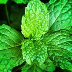 Today is day 7 of my 7-Day photo challenge. I was nominated by Denise Lee Gray  to take pictures of nature that I have taken myself and flood Facebook with beautiful images. I invite Jennifer Majewski Bly  to join the challenge.  #nature #green #mint #herb #iphoneography #iphonephotography