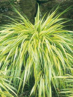 #Shade Gardening - perennial ornamental grass Hakonechloa macra 'Aureola' forms a vivid mound of bright yellow leaves with a few slender, green stripes.