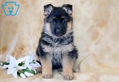 This sweet german shepherd puppy will brighten your day. Dogs are amazing companions. Tiny Puppies, Puppies For Sale, Baby Animals, Cute Animals, Funny Animals, German Shepherd Puppies, German Shepherds, Shepherd Dog, Pomeranian Puppy