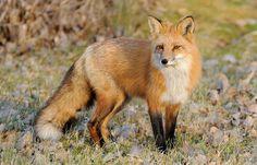 Renard roux Red Fox 23-11-13 by r.gelly on Flickr.