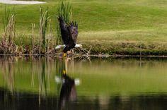 Bald Eagle by Camron Flanders.jpg