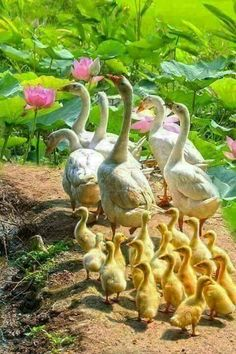 A gaggle of domestic geese and their goslings - Birds Love Birds, Beautiful Birds, Animals Beautiful, Farm Animals, Animals And Pets, Cute Animals, Tier Fotos, Swans, All Gods Creatures