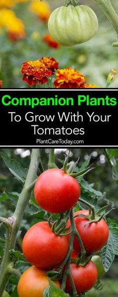 12 Companion Plants To Grow With Your Tomatoes