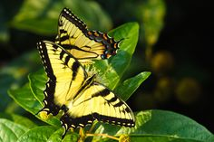 #BeautifulButterflies - The yellow swallowtail is a common swallowtail butterfly of North America, frequently seen in urban parks and gardens as well as in rural woodlands.  It is a large, brightly colored and active butterfly, rarely seen at rest.