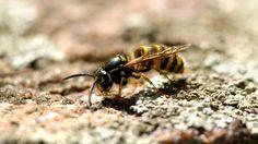 Näin erotat ampiaisen, mehiläisen ja kimalaisen.