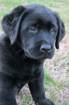 Hank the Tank. English Lab puppies are the cutest English Lab Puppies, Black Lab Puppies, Cute Dogs And Puppies, I Love Dogs, Puppy Love, Doggies, Black Labs, Black Labrador, Hank The Tank