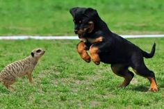 #Rottweiler puppy playing