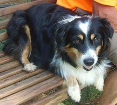 Meet Missy, a Petfinder adoptable Australian Shepherd Dog | Boston, MA | Hi, I'm Missy! I'm 4-5 years old and weigh 35 lbs. I'm a mini Australian Shepherd so I'm a herding...