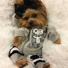 The Popular Pet and Lap Dog: Yorkshire Terrier - Champion Dogs Yorkies, Yorkie Puppy, Teacup Yorkie, Havanese Dogs, Rottweiler Puppies, Teacup Puppies, Corgi Puppies, Cute Funny Animals, Cute Baby Animals