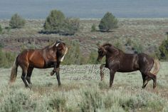 South Steens Wild Horses B157375  Two silver stallions. I know of no other herd where you could see this!  Available in prints, cards and canvases. Mugs available in my store:  http://store.barbarawheelerphotography.com  A gallery of Oregon  wild horse images are on my website or check out the hundreds of other mustangs from all over the US.  http://barbarawheelerphotography.com/wildhorses