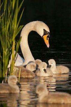 Mute Swan cygnets, Cygnus olor - Kew Pond, London, May. Pretty Birds, Beautiful Birds, Animals Beautiful, Beautiful Swan, Beautiful Family, Beautiful Pictures, Animals And Pets, Baby Animals, Cute Animals