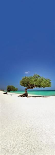 Two Divi-Divi trees on the beach in front of Amsterdam Manor, Aruba