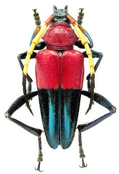 Pachyteria equestris (Newman, 1841)
