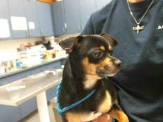 Chihuahua dog for Adoption in Tulsa, OK. ADN-714818 on PuppyFinder.com Gender: Male. Age: Young