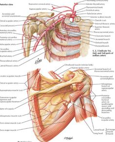 Vessels of the anterior and posterior shoulder girdle - Netter