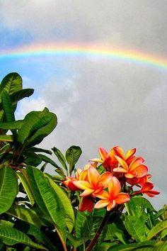 Plumeria and Rainbow