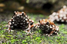 The Marañón Poison Frog or Rana Venenosa (Ranitomeya mysteriosus) is a species of frog in the Dendrobatidae family. It is endemic to Peru. Its natural habitat is subtropical or tropical moist lowland forests. It is threatened by habitat loss.